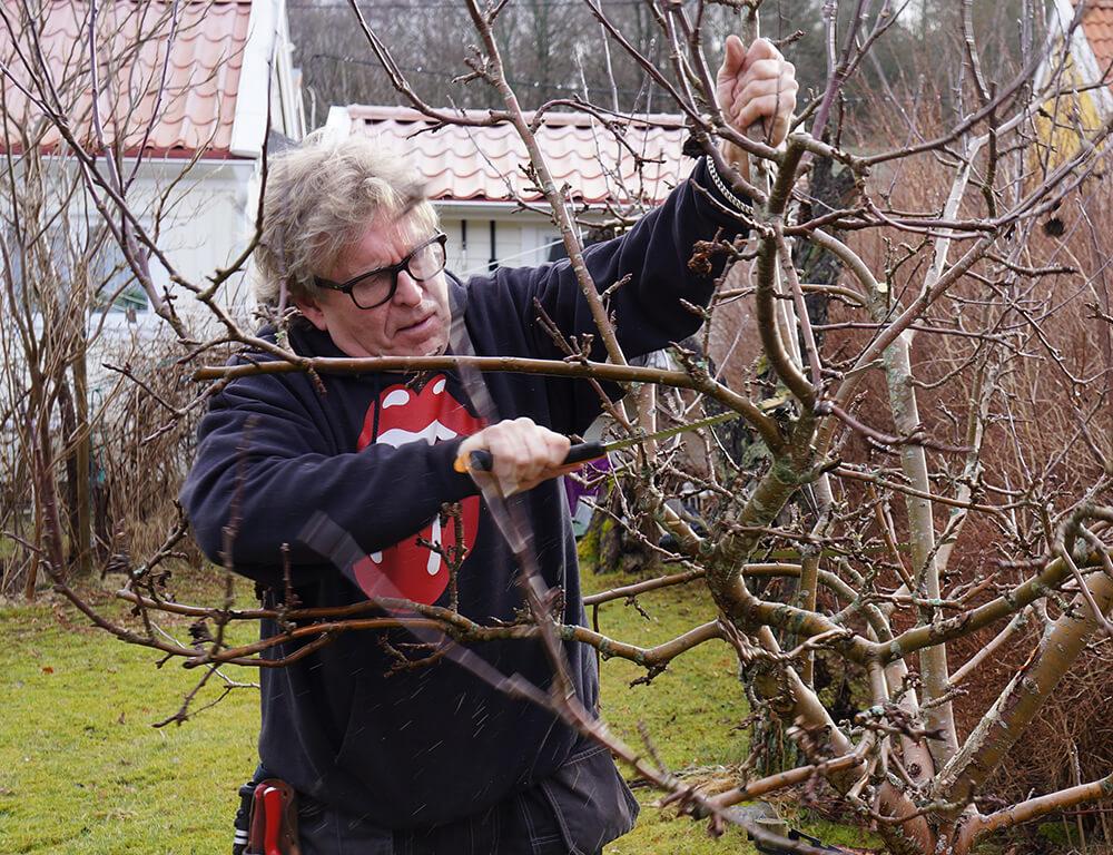 beskära äppelträd på våren